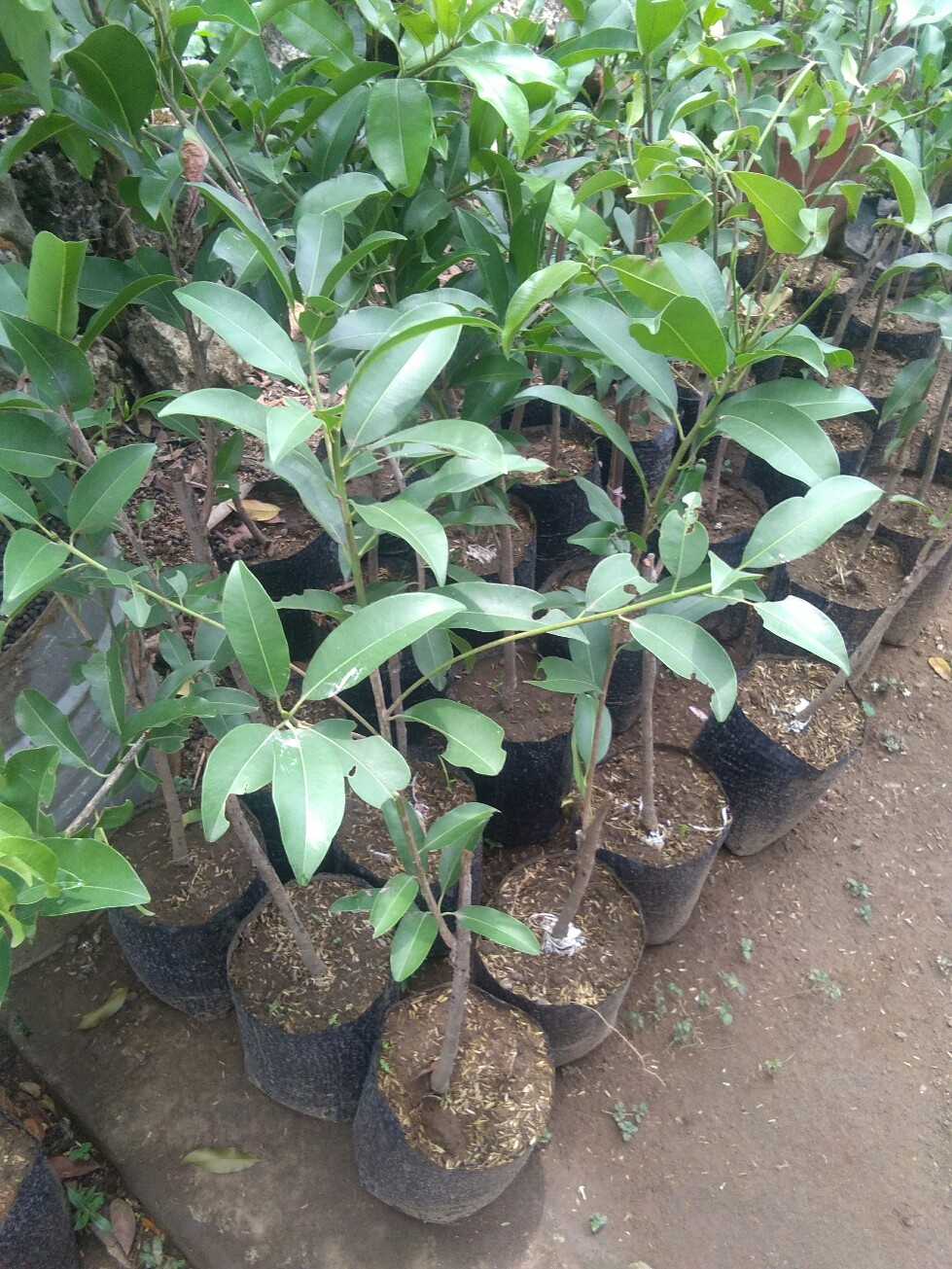 Tanaman buah sawo jumbo bangkok
