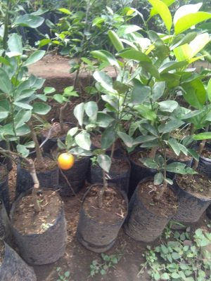 Jual tanaman buah jeruk kolomonde