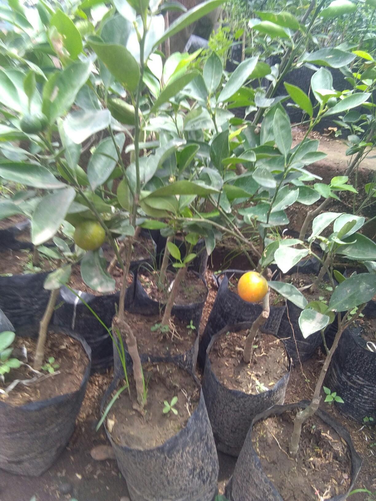 Bibit buah jeruk kolomonde
