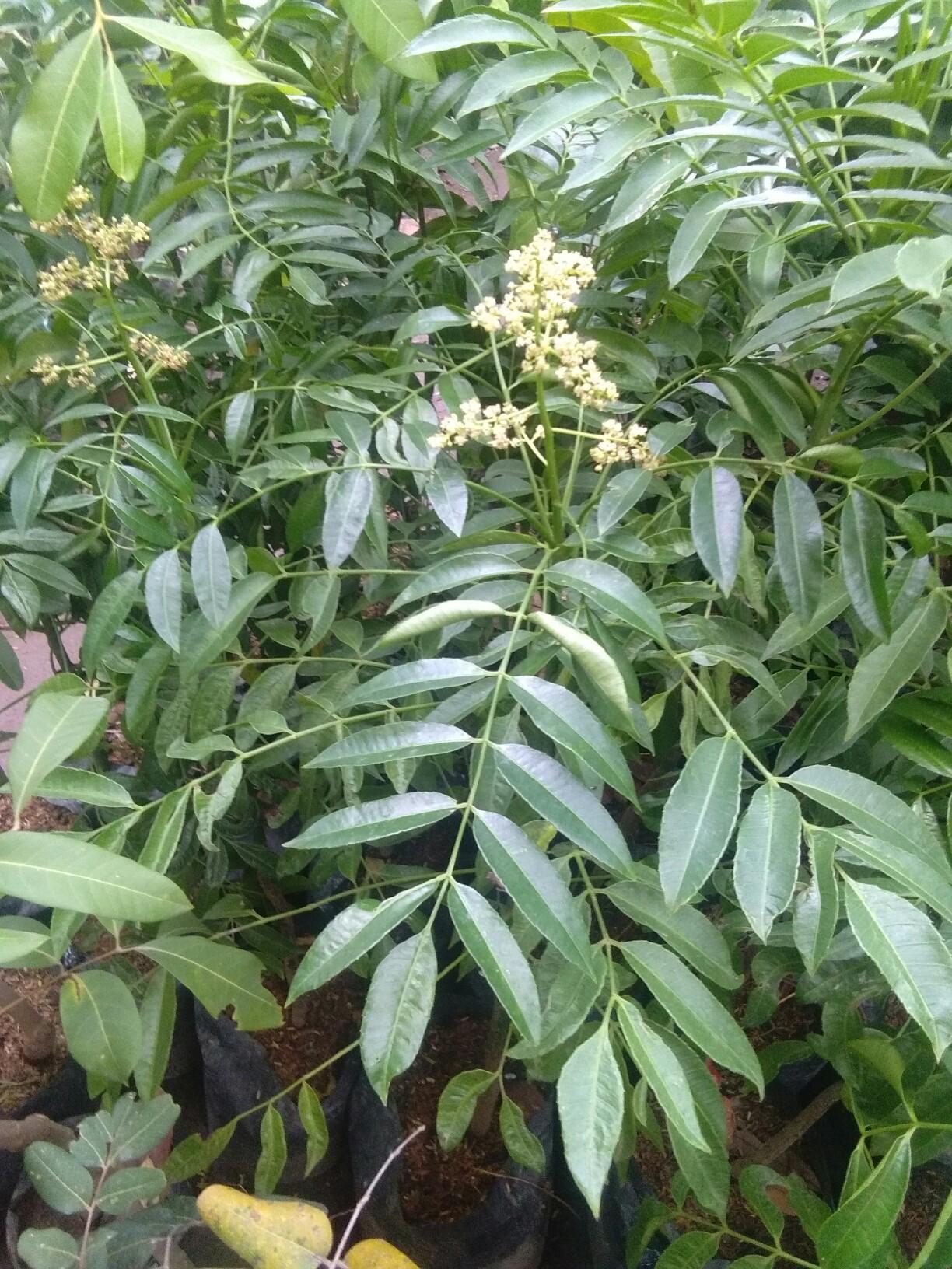 tanaman buah kedondong