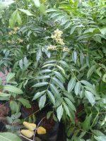 tanaman kedondong