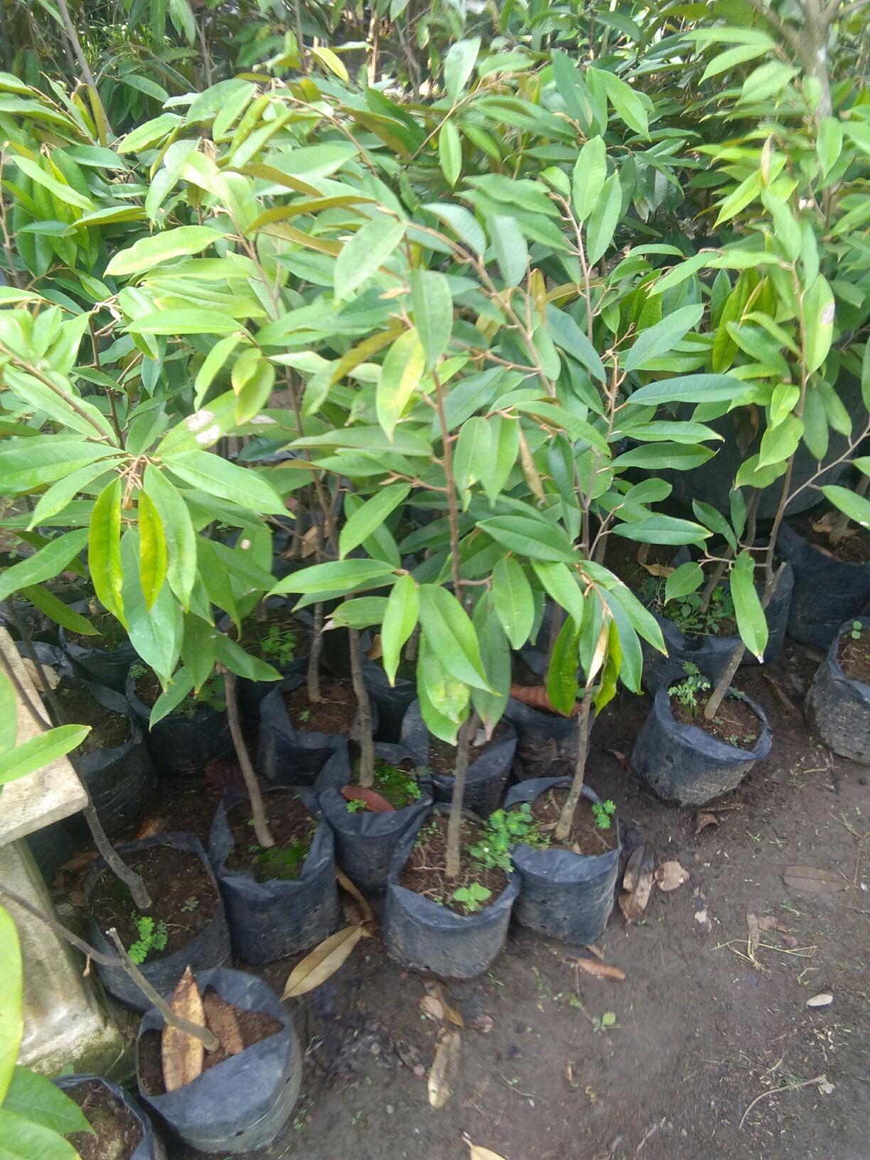 Jual pohon durian musang king