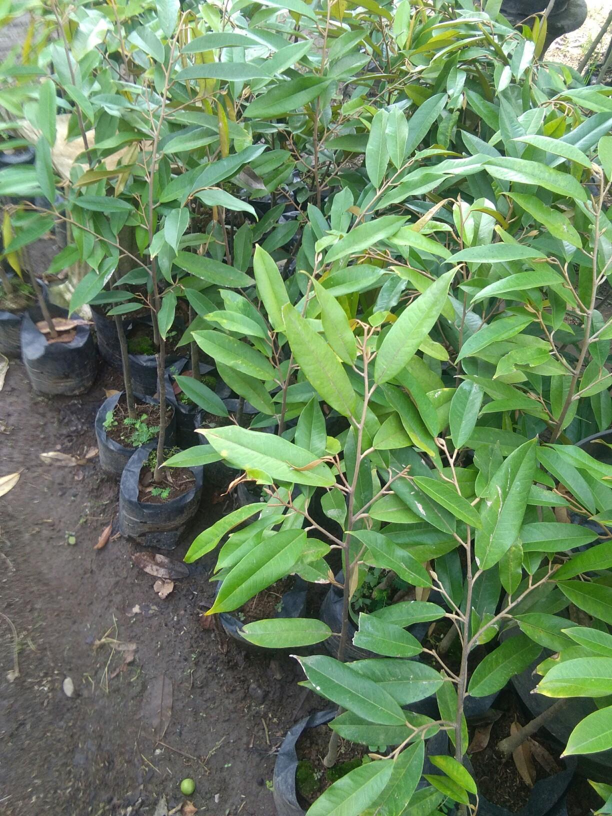 Jual bibit unggul tanaman buah durian