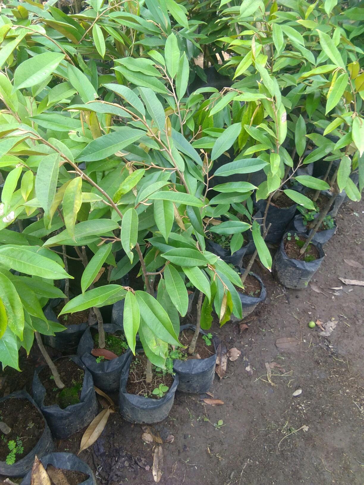 Jual bibit tanaman buah durian musang king