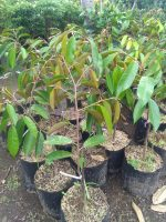 Tanaman buah durian duri hitam