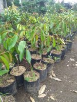 Jual bibit durian duri hitam