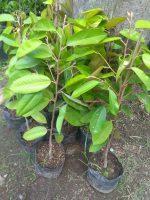 Jual bibit tanaman buah durian merah