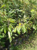Jual tanaman buah durian d24