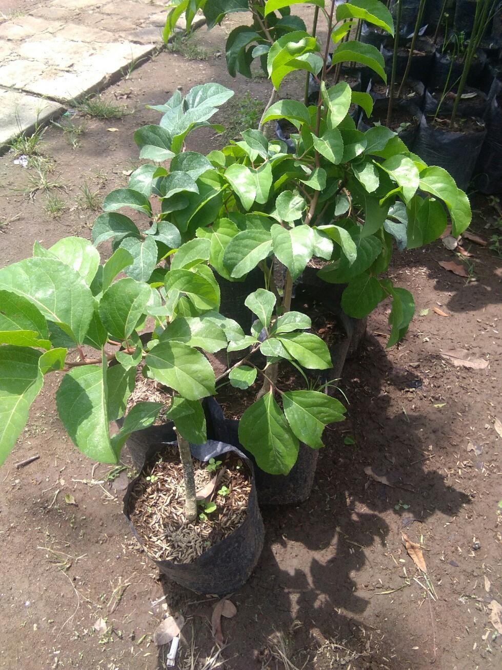 jual tanaman buah cery vietnam