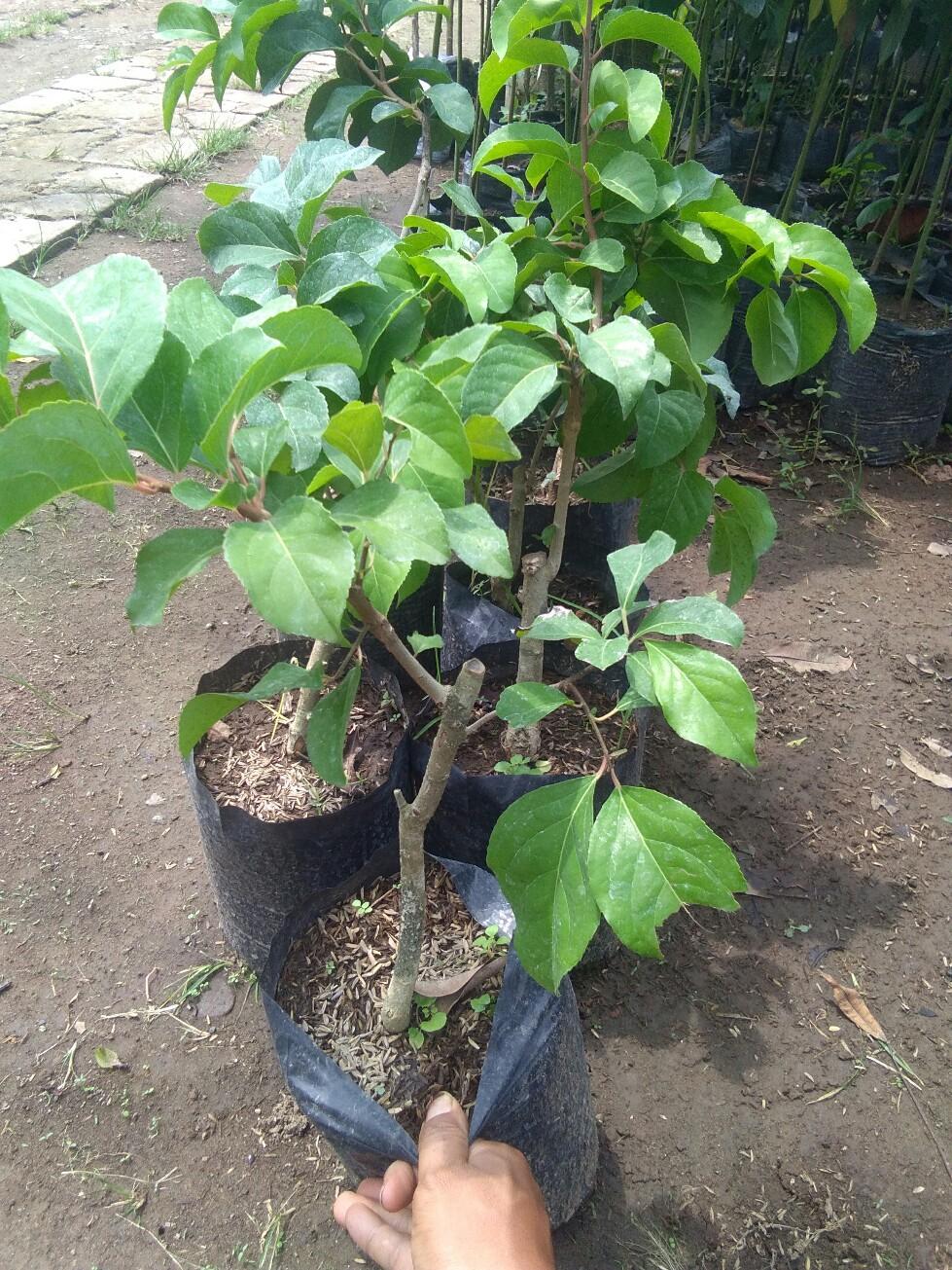 tanaman buah cery vietnam