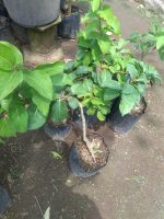 tanaman buah chery vietnam