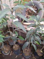 Jual tanaman buah mannga kiojay