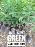 Jual tanaman buah jambu super green