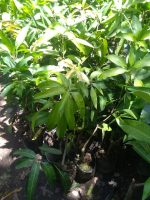 Jual bibit tanaman Buah Mangga mahatir