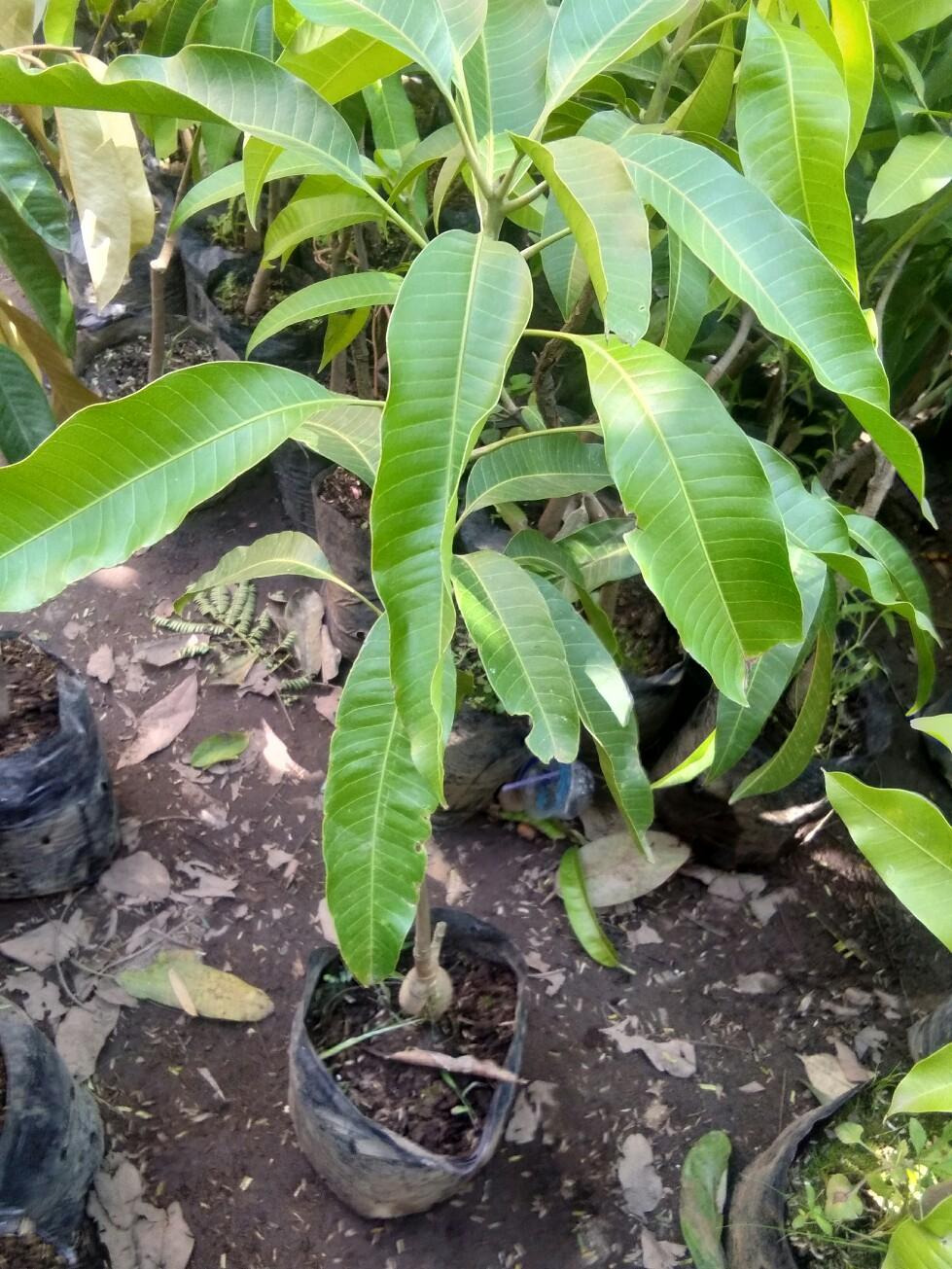 Jual bibit tanaman buah Mangga yuwen