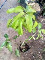 Jual bibit tanaman buah Mangga golek India