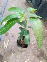Jual bibit tanaman buah Mangga okyong
