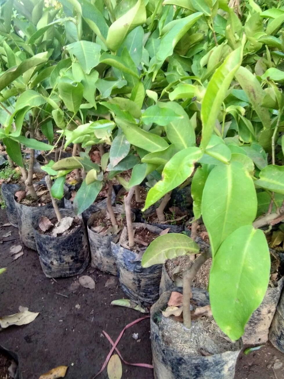 Bibit tanaman buah Jambu dahari