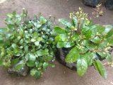 Jual tanaman daun Gempur Batu
