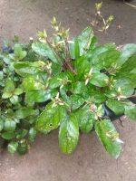 jual bibit tanaman daun gempur batu