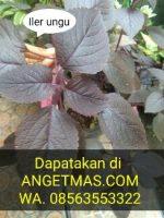 BiBit tananan daun Iler ungu