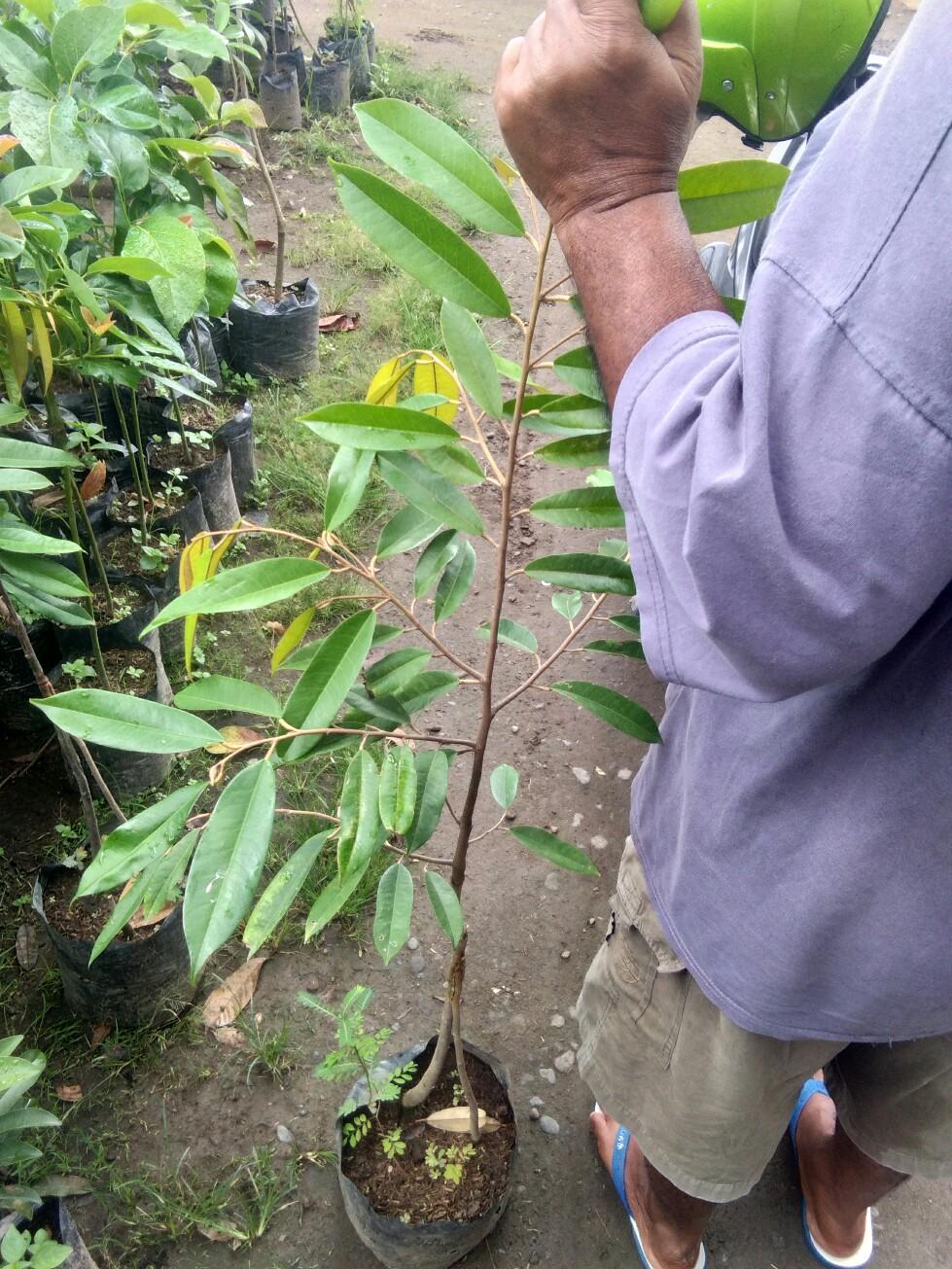 tanaman buah durian musang king kaki 2