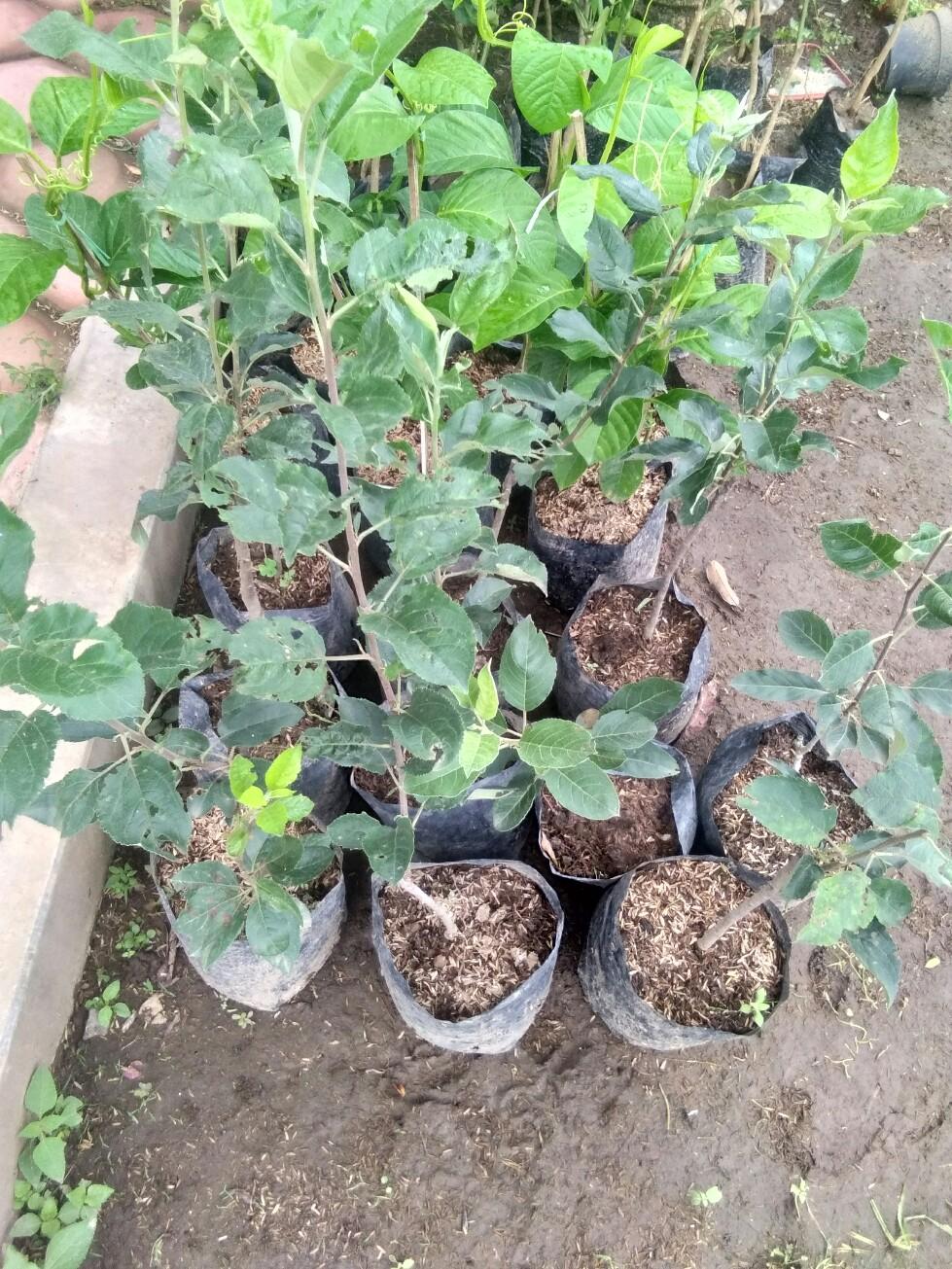 Jual bibit tanaman buah apel batu