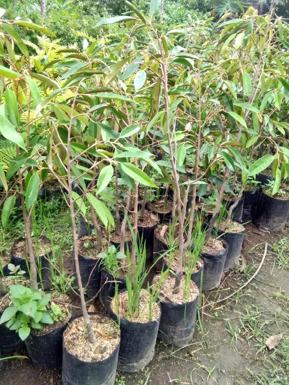 Jual bibit tanaman buah durian kani