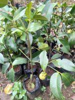 Jual bibit tanaman buah manggis sudah berbuah