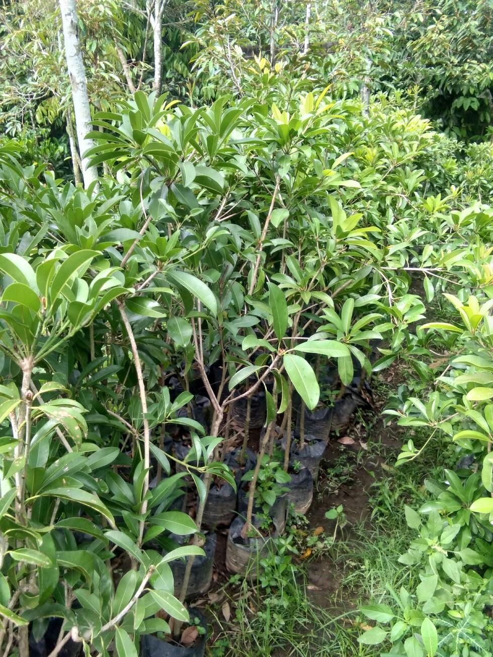 Jual bibit tanaman buah sawo bali