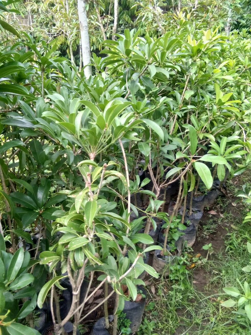Jual bibit tanaman buah sawo bali, sudah berbuah