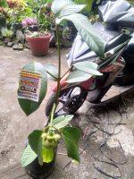 Jual tanaman buah manggis sudah berbuah