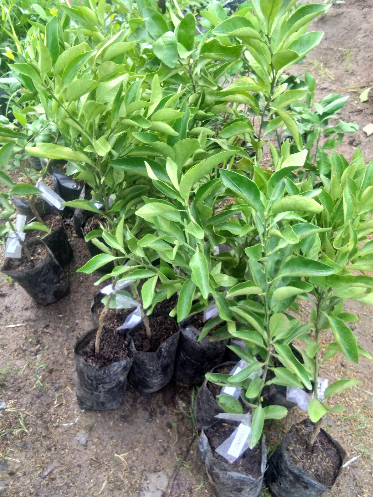 Jual bibit tanaman buah jeruk dekopon