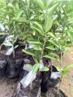 Bibit tanaman buah jeruk dekopon