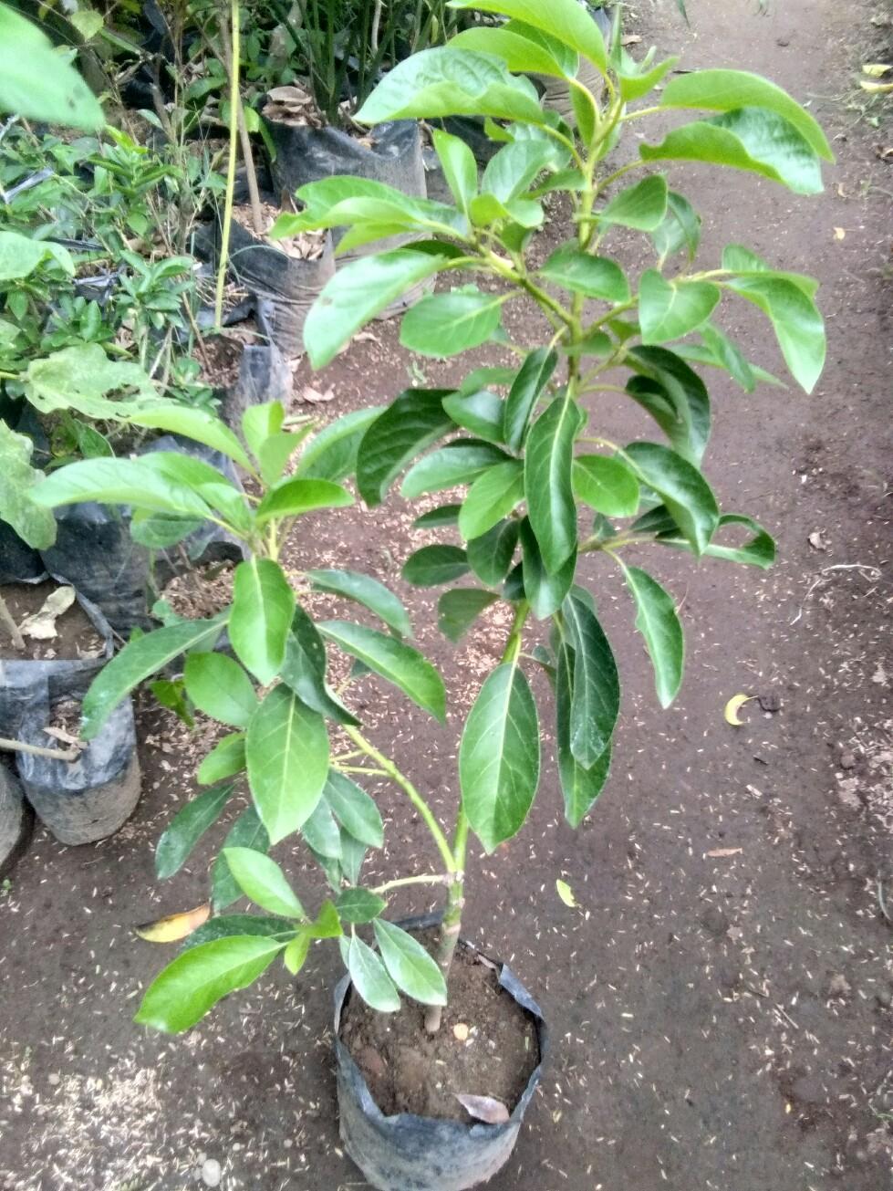 Bibit tanaman buah Alpukat Florida