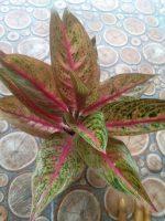Jual tanaman bunga aglaonema lagecy