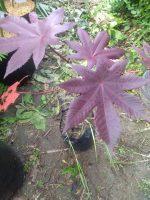 Jual bibit tanaman Jarak Merah