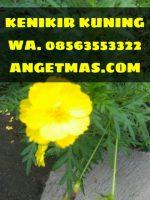 Bibit tanaman kenikir kuning