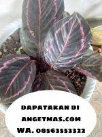 Jual bibit tanaman bunga calathea meranti ungu