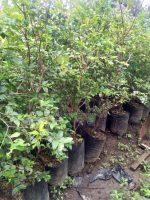 Jual bibit tanaman buah anggur pohon
