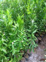 Jual bibit tanaman buah jeruk emas