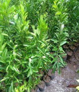 Bibit tanaman buah jeruk emas