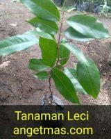Bibit tanaman buah Lecy