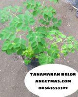 Bibit tanaman daun kelor