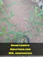 Jual tanaman daun landep
