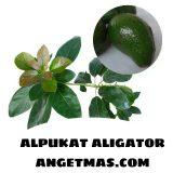 Bibit tanaman buah Alpukat Aligator