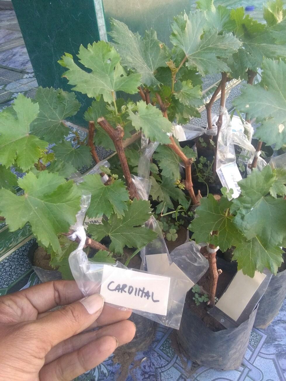 Jual bibit tanaman buah anggur cardinal