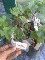 Tananan buah anggur red cardinal