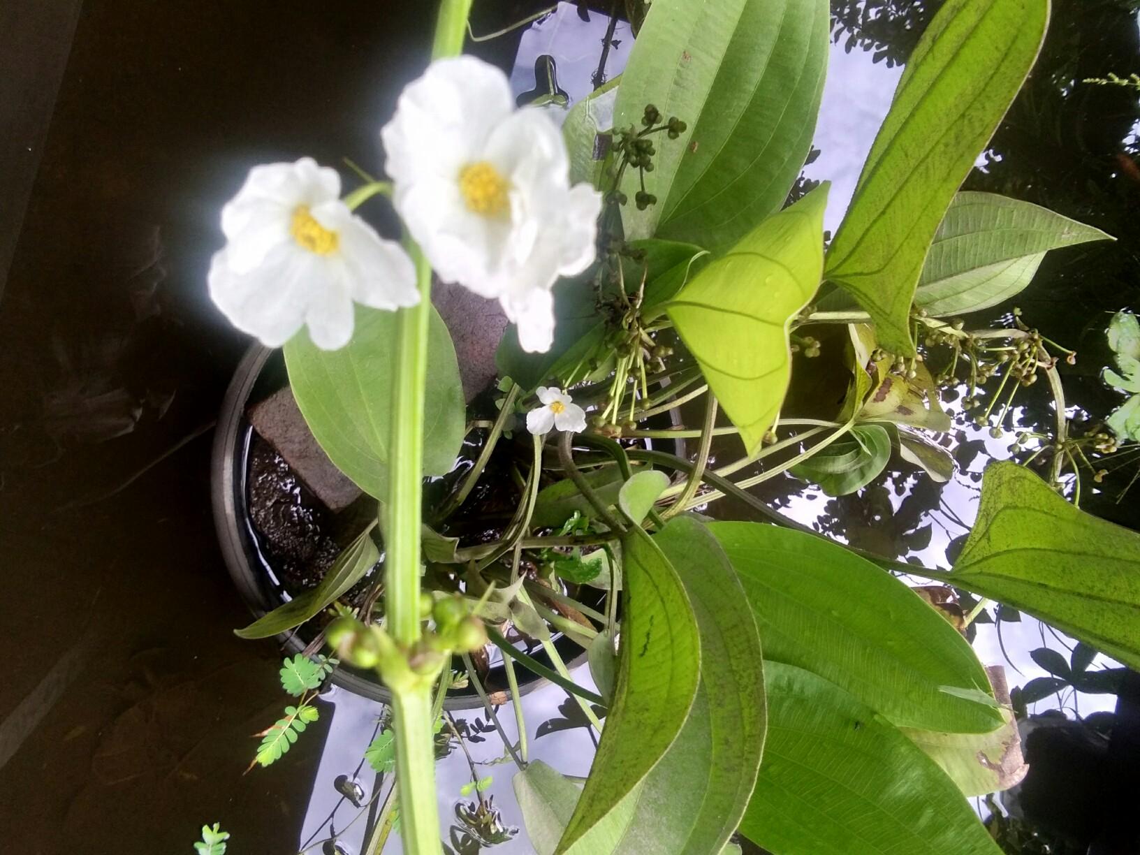 Bibit tanaman bunga Melati air