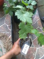 Bibit tanaman buah Anggur Australia